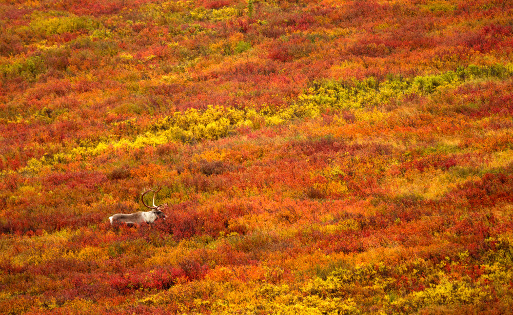 A male Caribou walks over the fall colours on the tundra