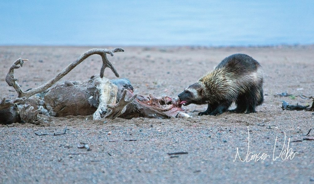 Wolverine on Caribou carcass