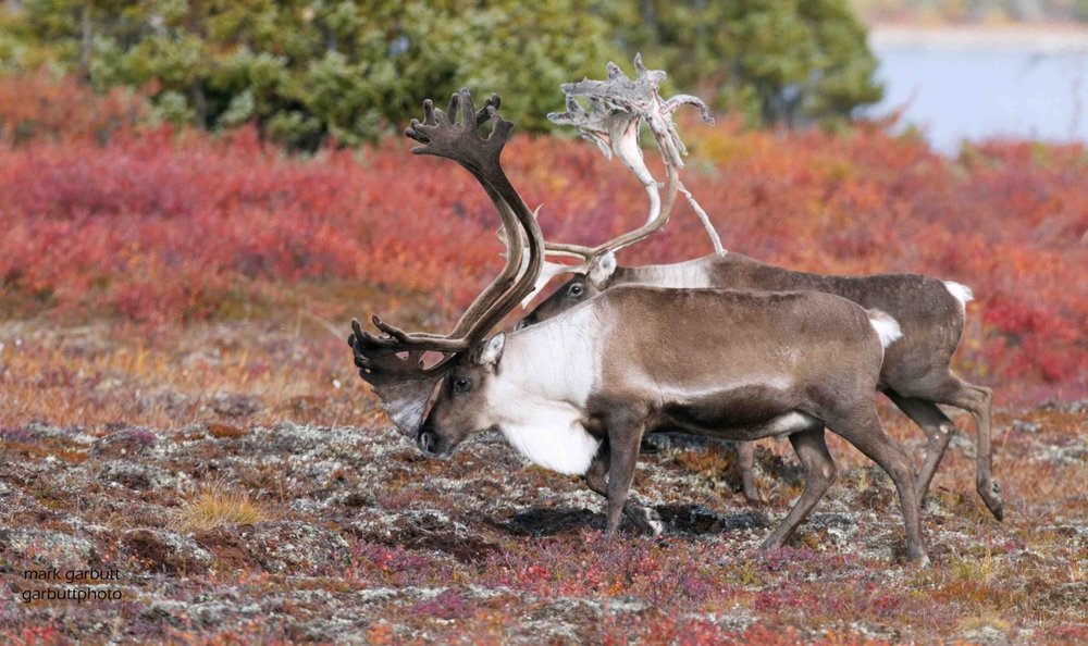 Two_bull_caribou_migrating_nunavut.jpg