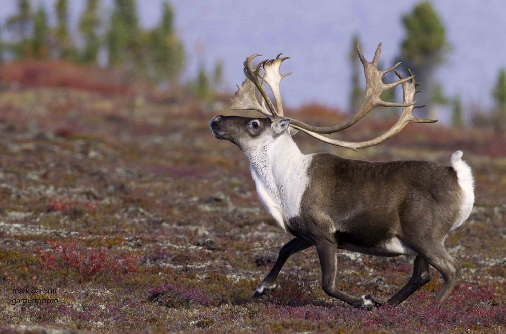 Bull_caribou_autumn_migration_arctic_haven-1 2.jpg