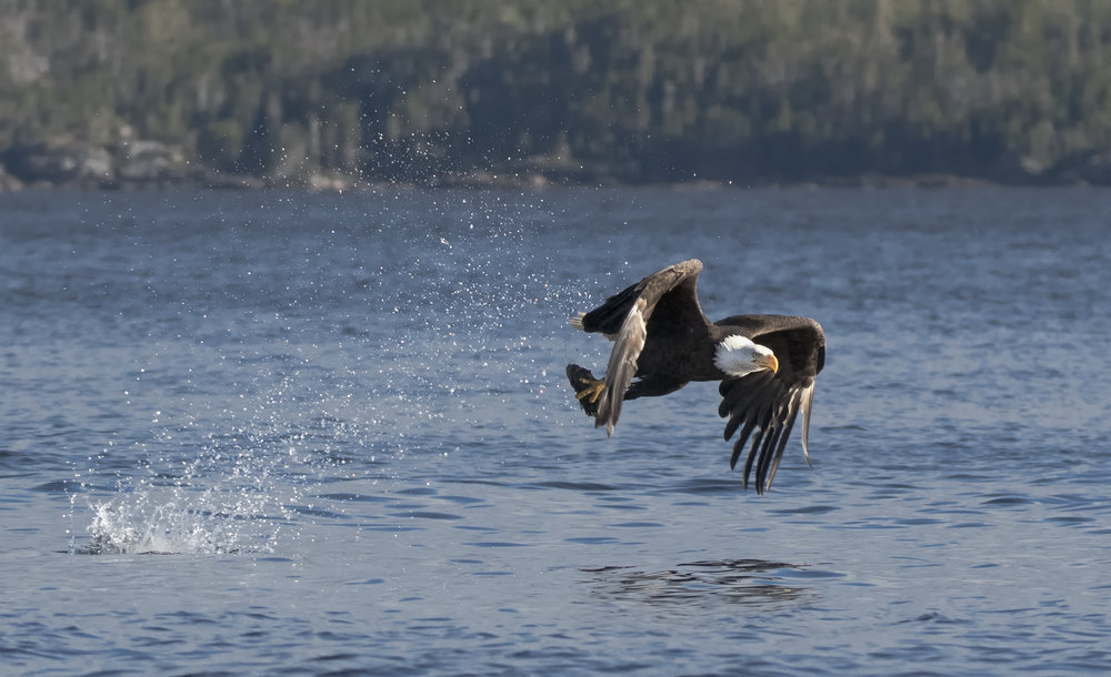bald eagle in newfoundland.jpg