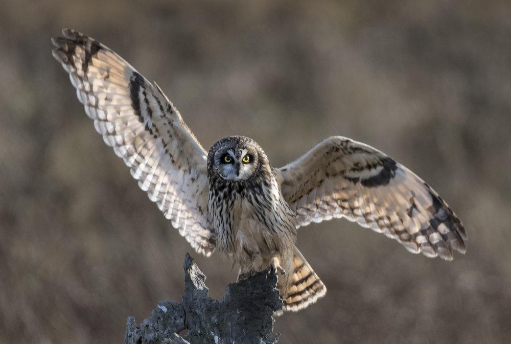 short eared owl.jpg