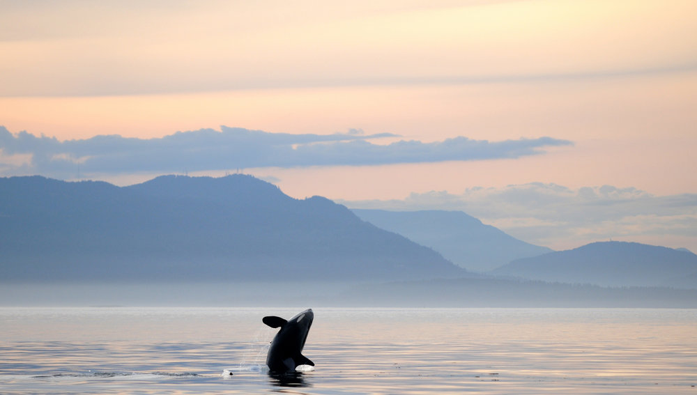 Orca Whale Breaches during one of our whale tours on Vancouver Island