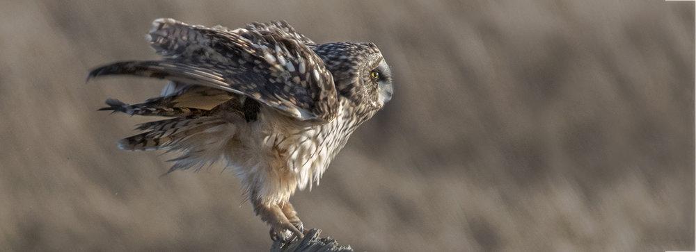 short eared owl on perch 2.jpg