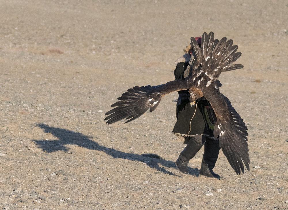 landing golden eagle.jpg