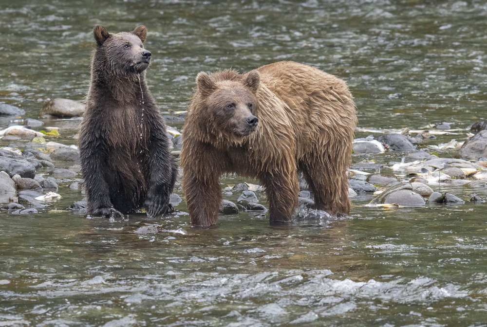 Grizzly Bears - August 17–24, 2019