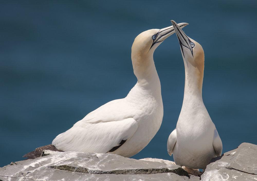gannet pair.jpg