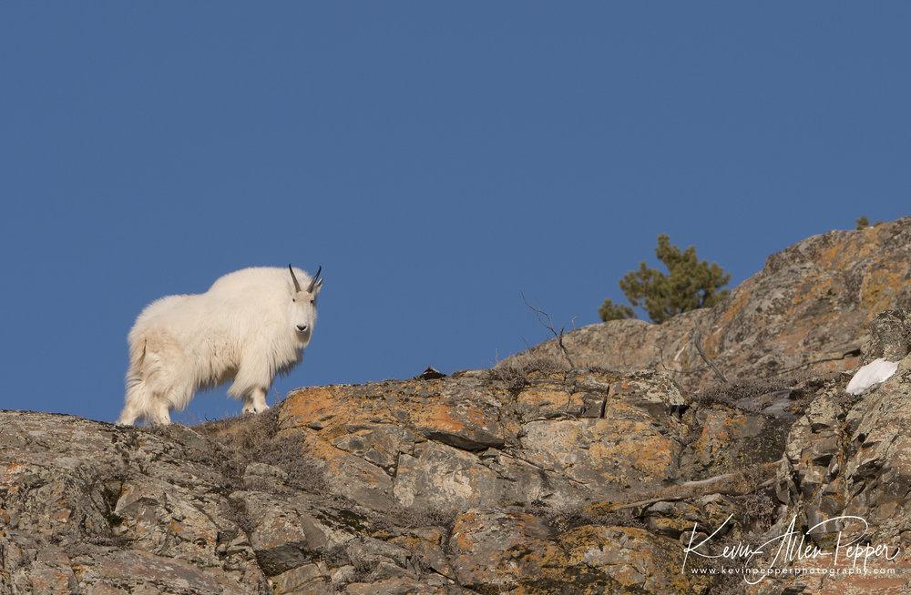 mountain goat_G9.jpg