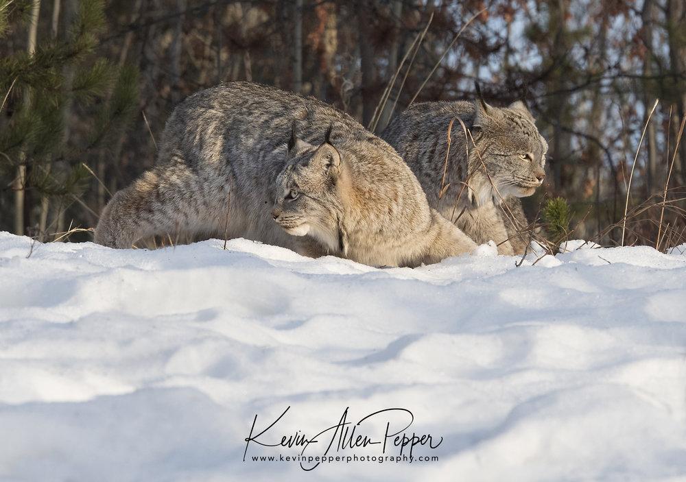 two canada lynx_g9.jpg