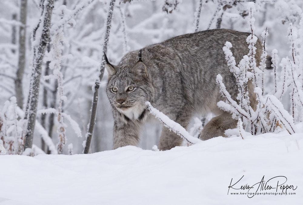 canada lynx hunting_g9.jpg