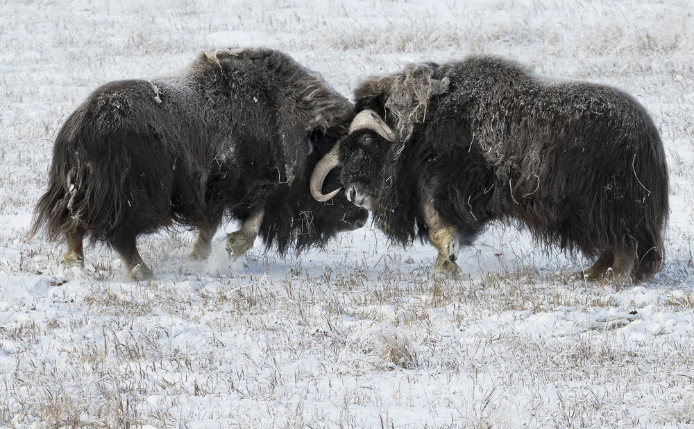 muskox+knocking+heads.jpg