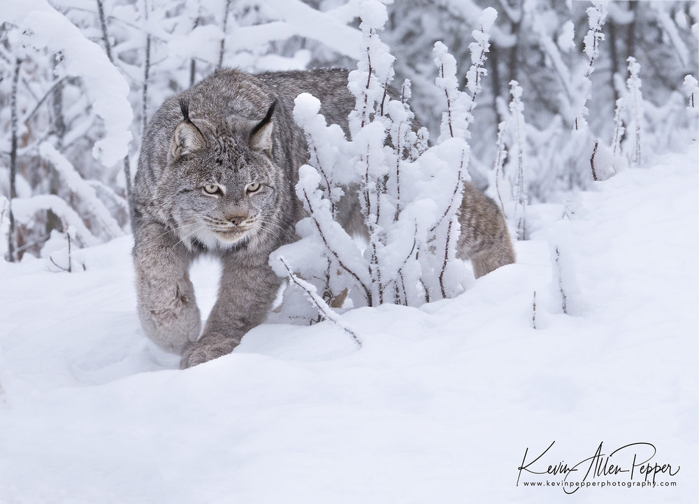 canada lynx in the bushes_g9.jpg
