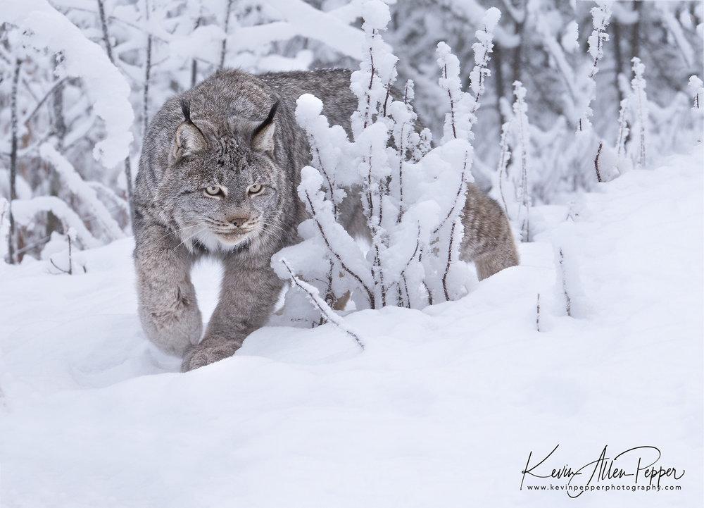 canada lynx in the bushes_g9.jpg