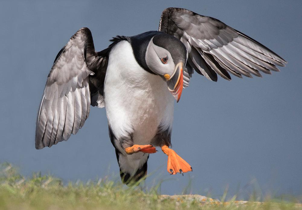 puffin landing-X4.jpg