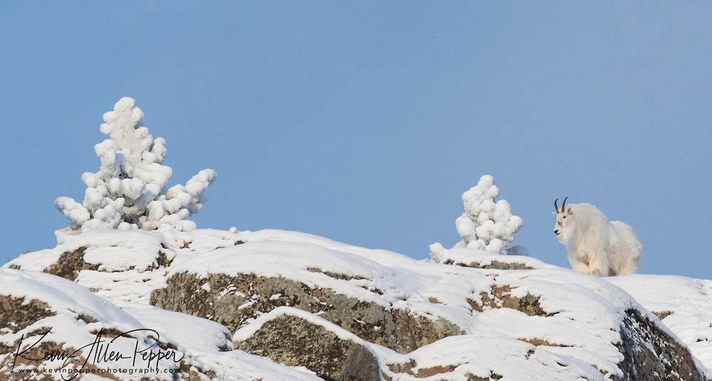 mountain goat on ridge.jpg