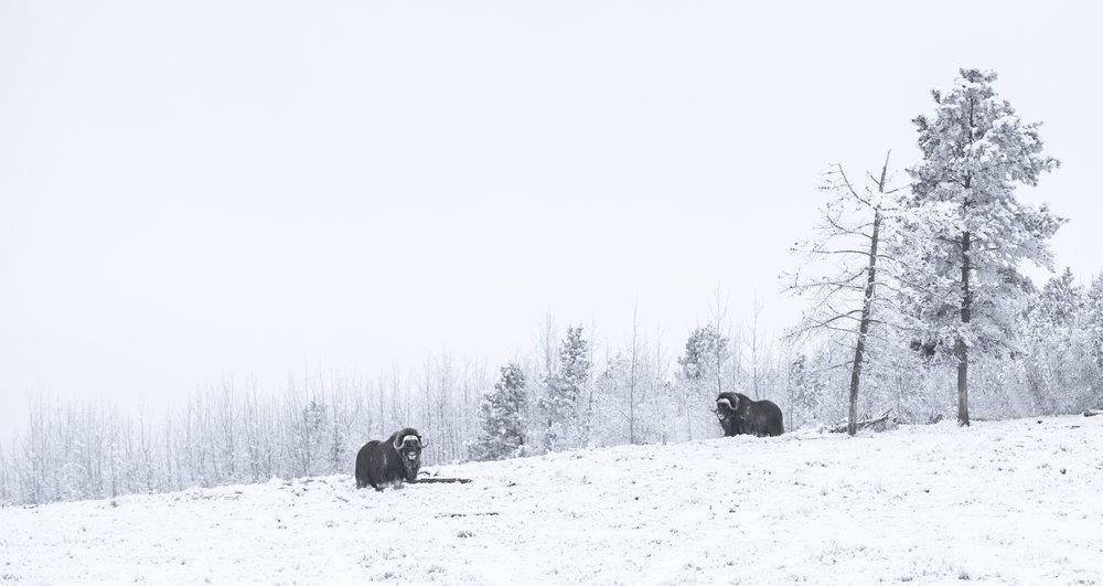 musk oxen in a landscape.jpg