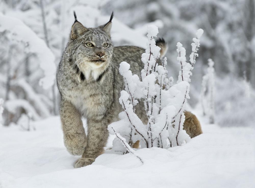 canada lynx pose.jpg