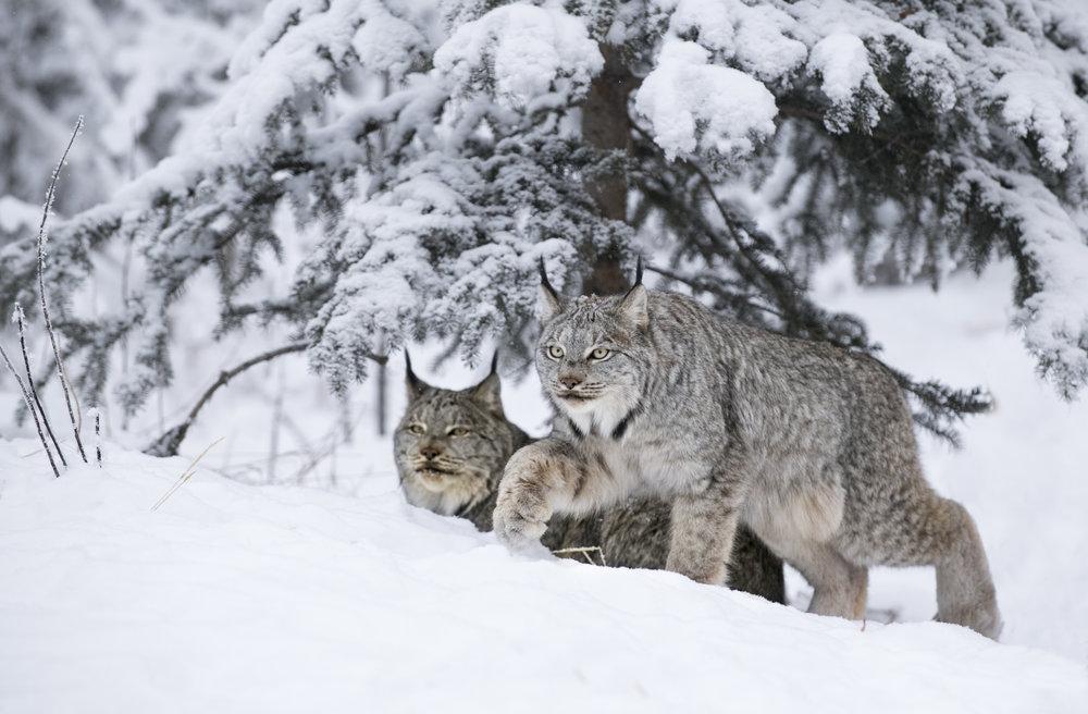 two lynx in the yukon.jpg