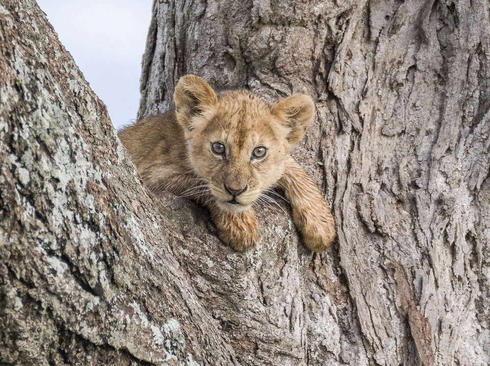 lion cub_Nikon.jpg