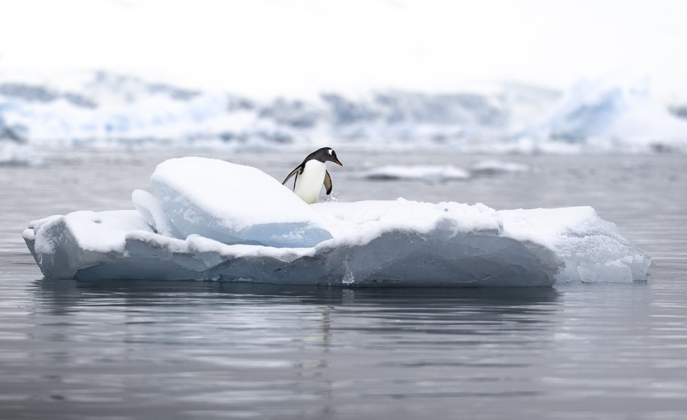gentoo penguin on iceberg.jpg