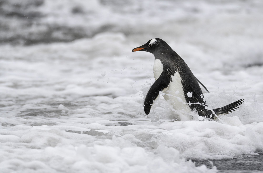 penguin in teh surf.jpg