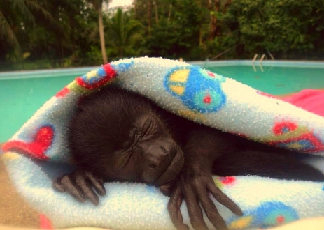A rescued baby Howler monkey keeping warm in a donated blanket.