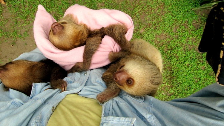 Babysitting sloth babies