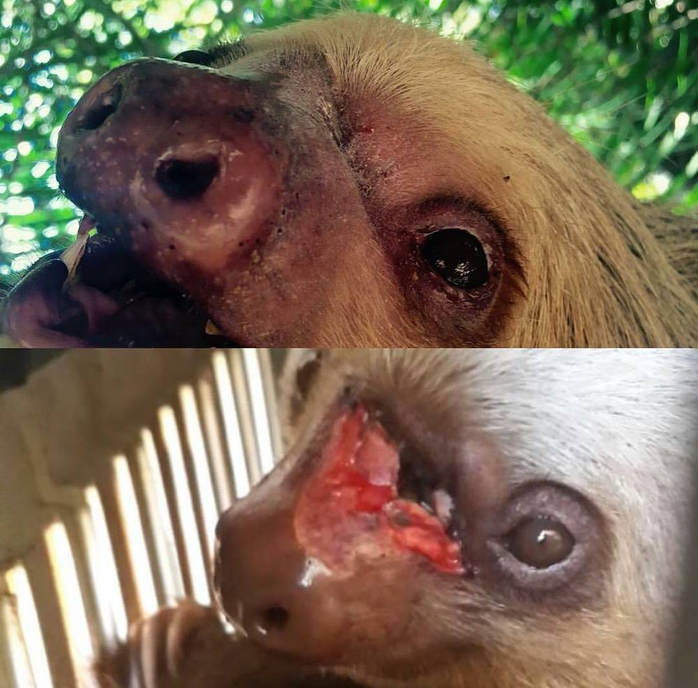 Amy the sloth before and after rehabilitation at our Rescue Center