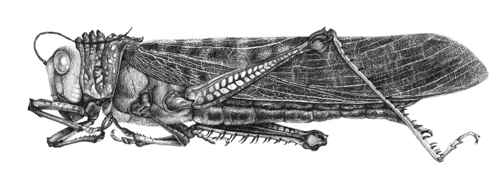 Tropical grasshopper. Black colored pencil on coquille board.
