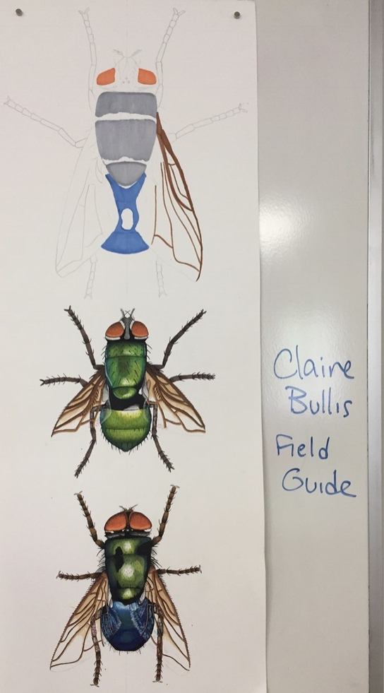 Fly diversity by Claire Bullis