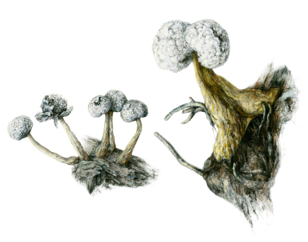 Physarum globuliferum  sometimes develops with conjoined 'peridia' (the spore-filled 'heads'.)