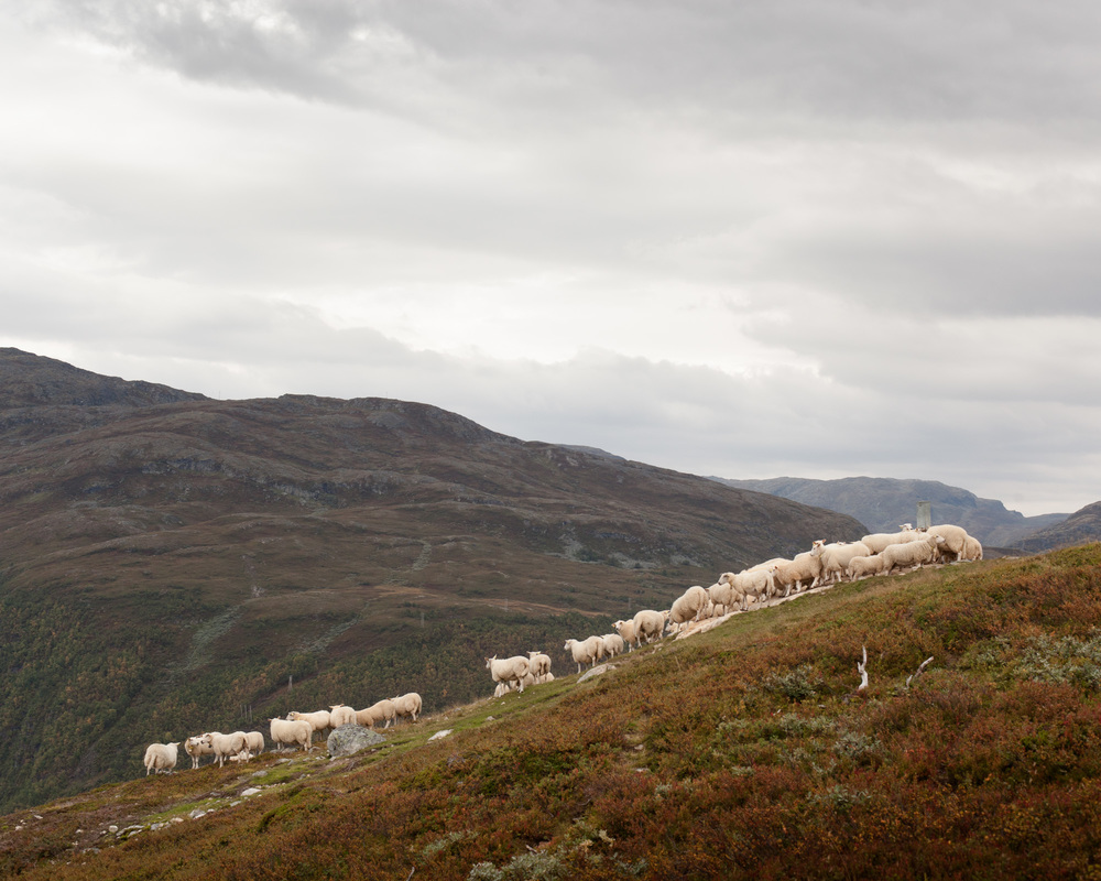 Of the 900 sheep sent to the mountain lastspring, 270 did not return.