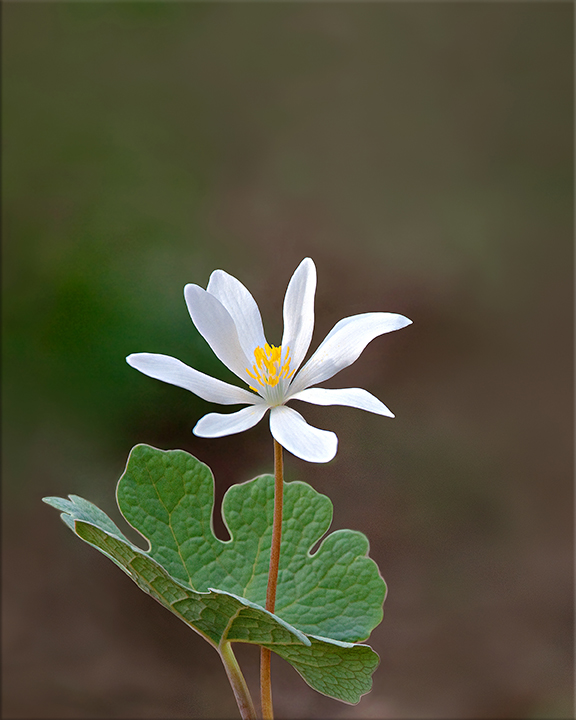 Bloodroot Sanguinaria canadensis 6-12 inches