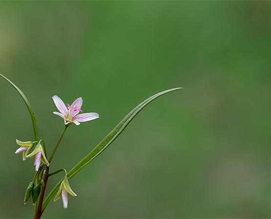 Virginia Spring Beauty Claytonia virginica 6-12 inches