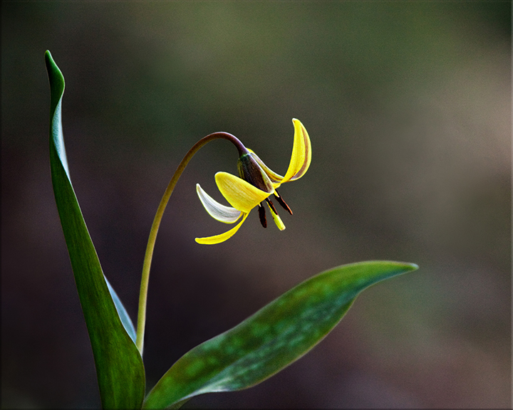 Trout Lily Erythronium americanum 4-10 inches