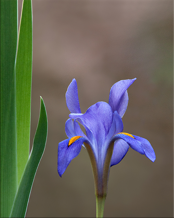 Dwarf Iris  Iris verna  2-6 inches
