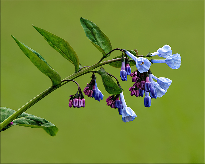 Virginia Bluebell Mertensia virginica 12-24 inches
