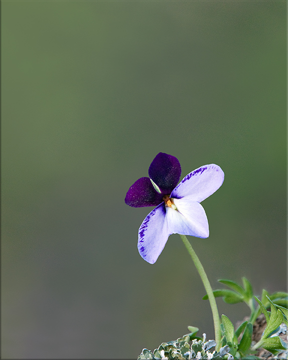Bird's-foot Violet  Viola pedata  4-10 inches