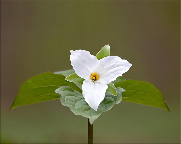 Large-flowered Trillium Trillium grandiflorum 12-18 inches