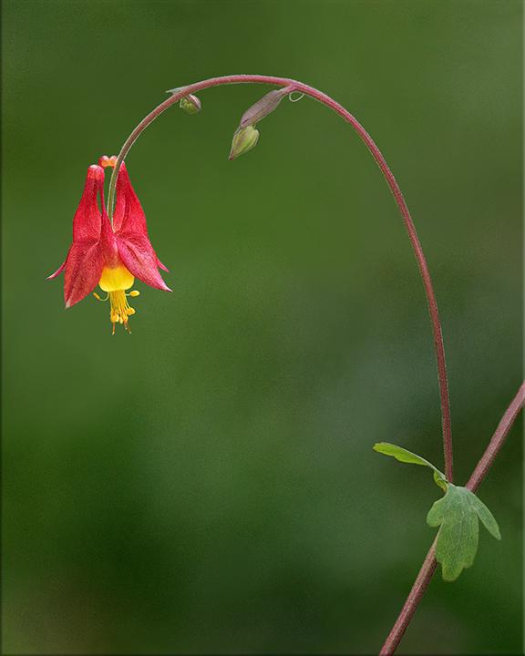 Wild Columbine Aquilegia canadensis 1-2 feet