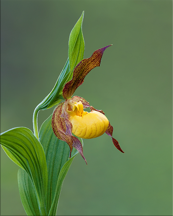 Yellow Lady's-slipper Cypripedium parviflorum 18-24 inches