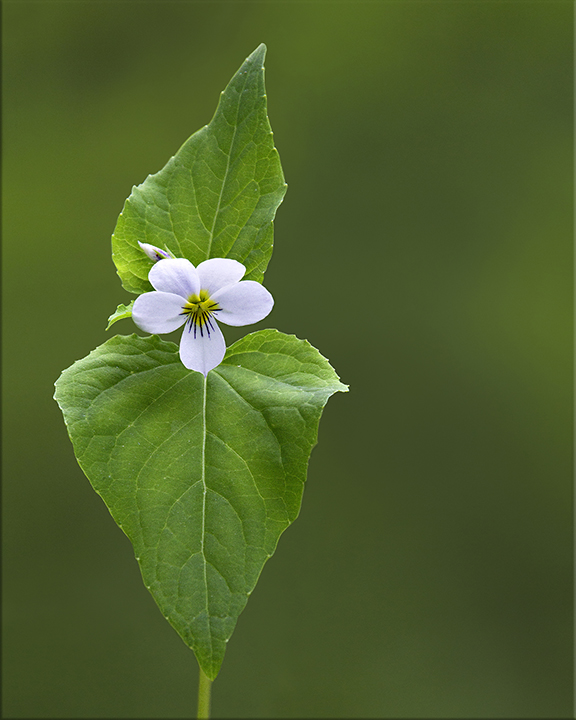 Canada Violet  Viola canadensis  8-16 inches