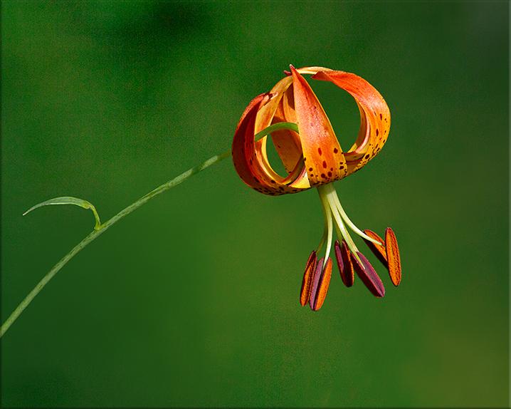 Turk's-cap Lily Lilium superbum 3-8 feet