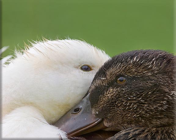 Pekin & Mallard ducks Anas platrhynchos domesticus & Anas platrhynchos