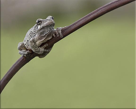 Gray tree frog  Hyla versicolor