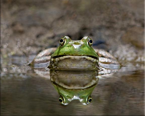 American bullfrog  Rana catesbeiana