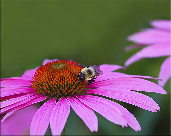 American bumble bee Bombus pennsylvanicus