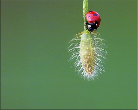 Seven-spotted ladybird beetle  Coccinella septumpunctata