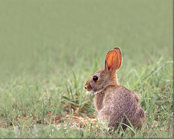 Eastern cottontail rabbit Sylvilagus floridanus