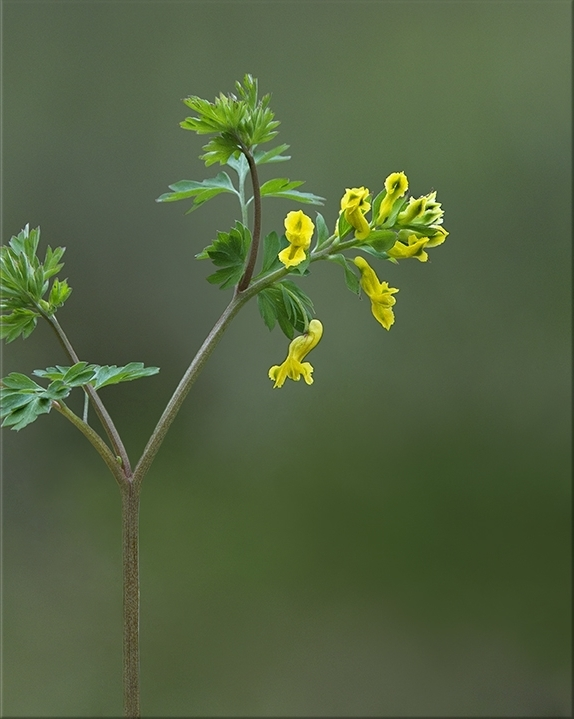 Yellow Fumewort  Corydalis flavula  6-16 inches